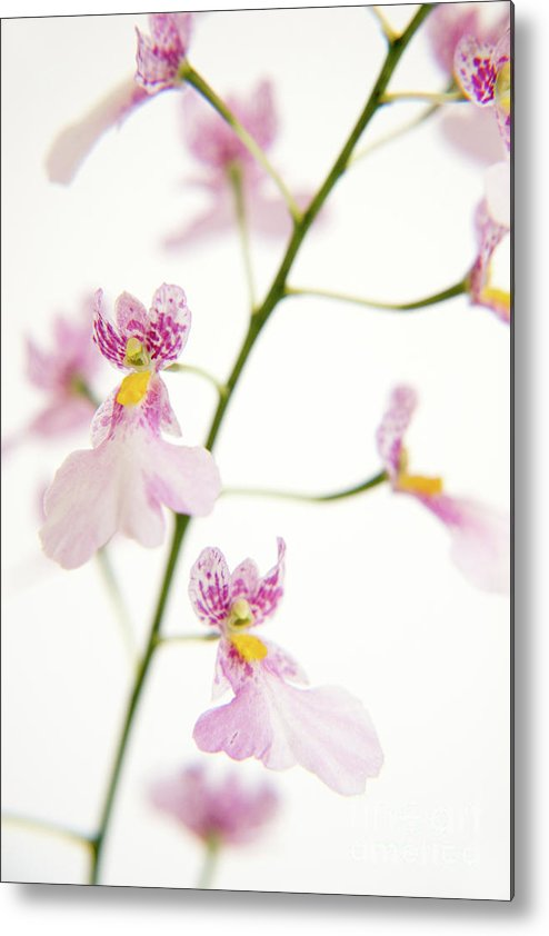 Flowers Metal Print featuring the painting Oncidium Orchid Flowers by Julia Hiebaum