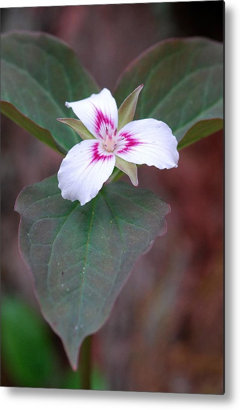 Painted Trillium Metal Print featuring the photograph Painted Trillium by Alan Lenk