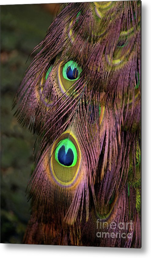 Bird Metal Print featuring the photograph Peacock Feathers by Rawshutterbug
