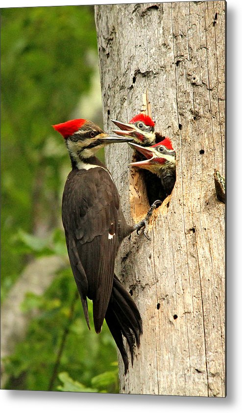 Woodpecker Metal Print featuring the photograph Pileated #30 by James F Towne