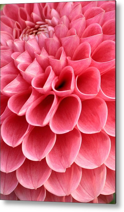 Pink heart shaped flower metal print by pierre leclerc photography pink metal print featuring the photograph pink heart shaped flower by pierre leclerc photography mightylinksfo