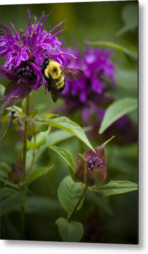 Bumble Bee Metal Print featuring the photograph Pollinating Bumble Bee by Chad Davis