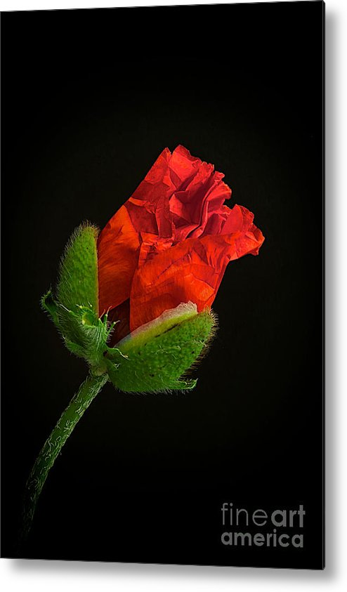 Poppy Metal Print featuring the photograph Poppy Bud by Toni Chanelle Paisley