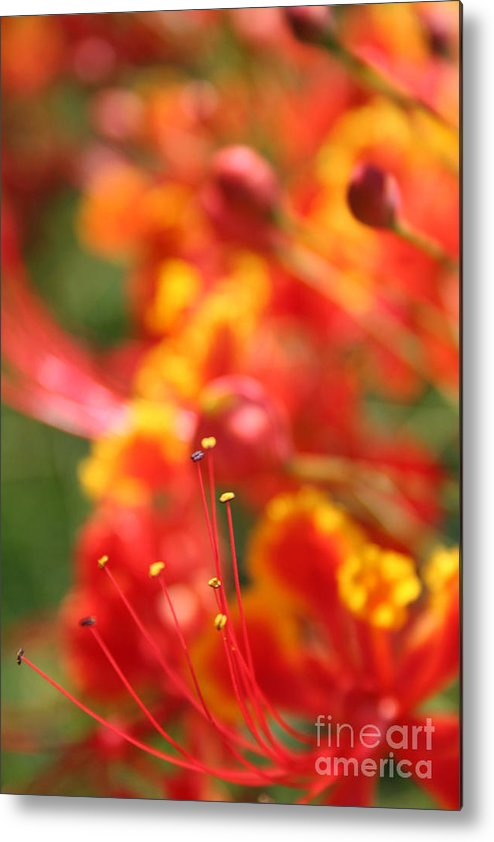 Pride Of Barbados Metal Print By Sharon Mau