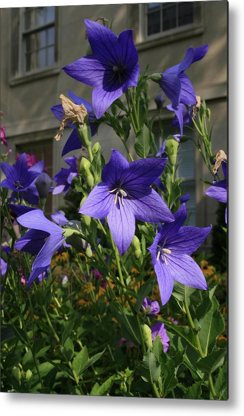 Flowers Metal Print featuring the photograph Purple Stars by Alan Rutherford