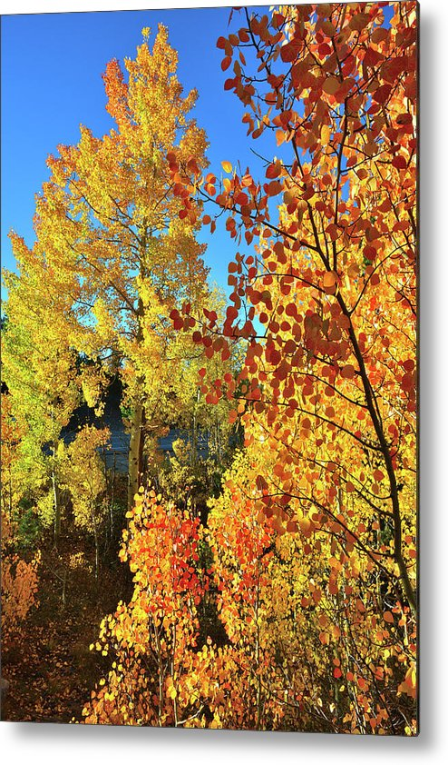 Colorado Metal Print featuring the photograph Red And Golden Aspens In Dillon Co by Ray Mathis