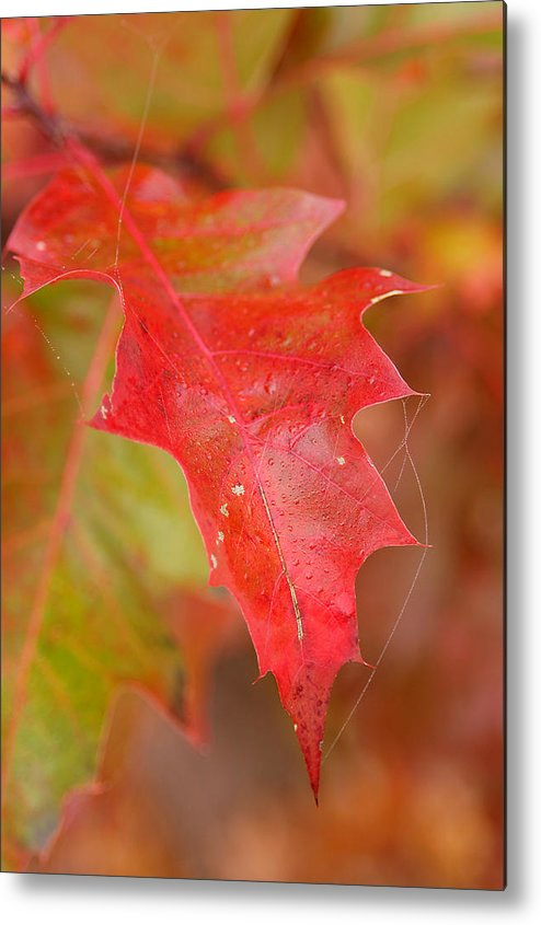 Oak Leaves Metal Print featuring the photograph Red Silk by Linda McRae