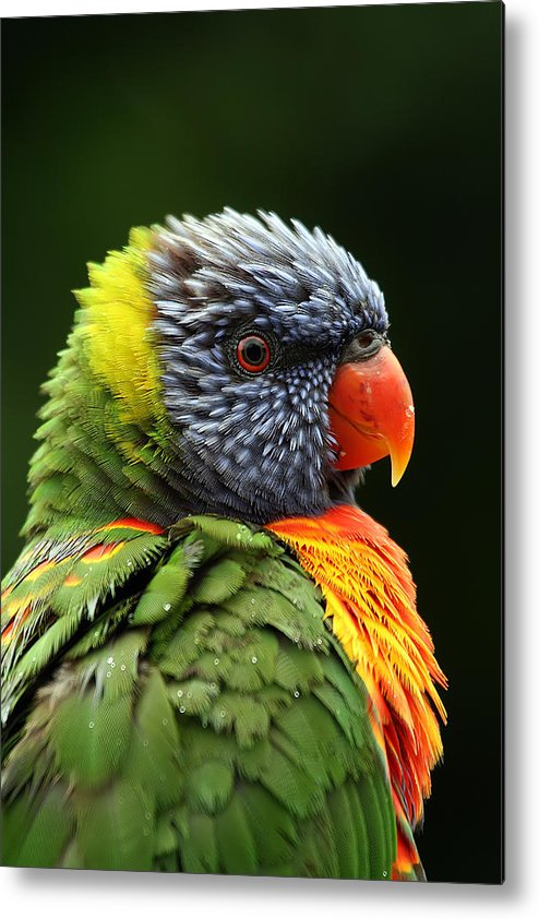 Rainbow Lorikeet Metal Print featuring the photograph Reflecting In The Rain by Lesley Smitheringale