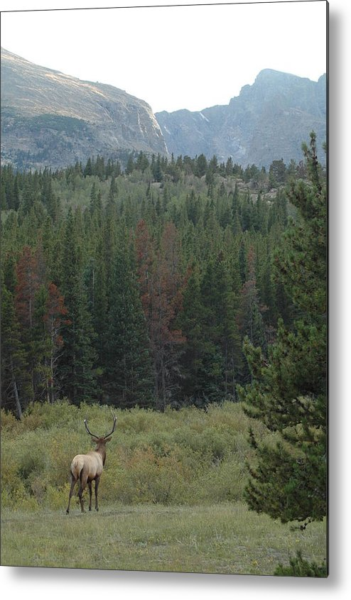 Elk Metal Print featuring the photograph Rocky Mountain Elk by Kathy Schumann