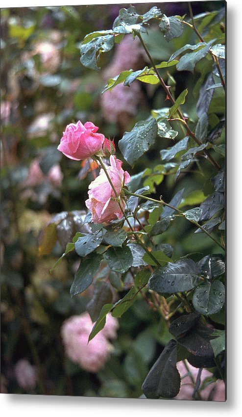 Roses Metal Print featuring the photograph Roses by Flavia Westerwelle