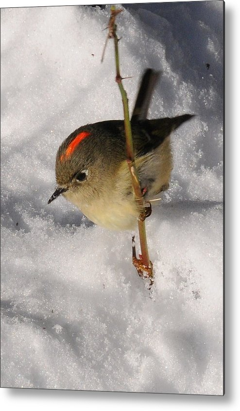 Photography Metal Print featuring the photograph Ruby-crowned Kinglet by Joel Brady-Power