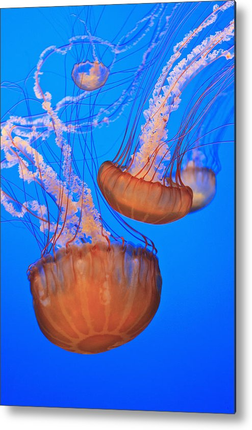 Aquarium Metal Print featuring the photograph Sea Nettles Chrysaora Fuscescens In by Stuart Westmorland