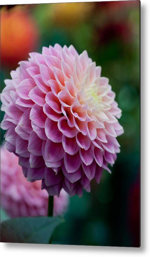 Flower Metal Print featuring the photograph Season End by Paul Slebodnick