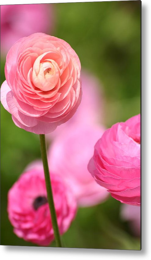 Flowers Metal Print featuring the photograph Shades Of Pink by Martha Layton Smith