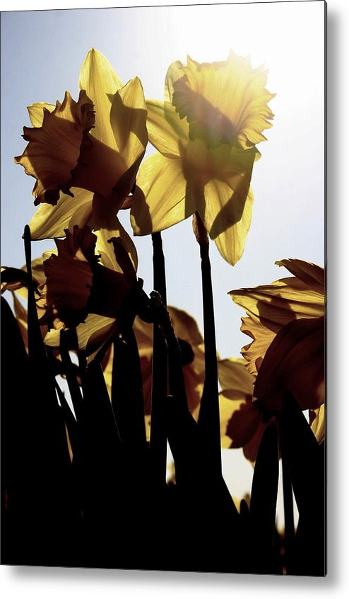 Skagit Valley Metal Print featuring the photograph Shadowed Daffodils by Karla DeCamp