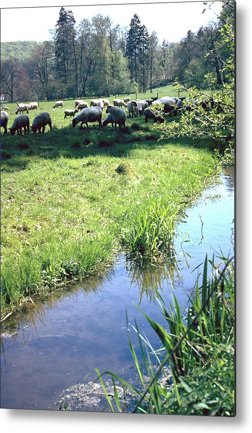 Sheep Metal Print featuring the photograph Sheep by Flavia Westerwelle