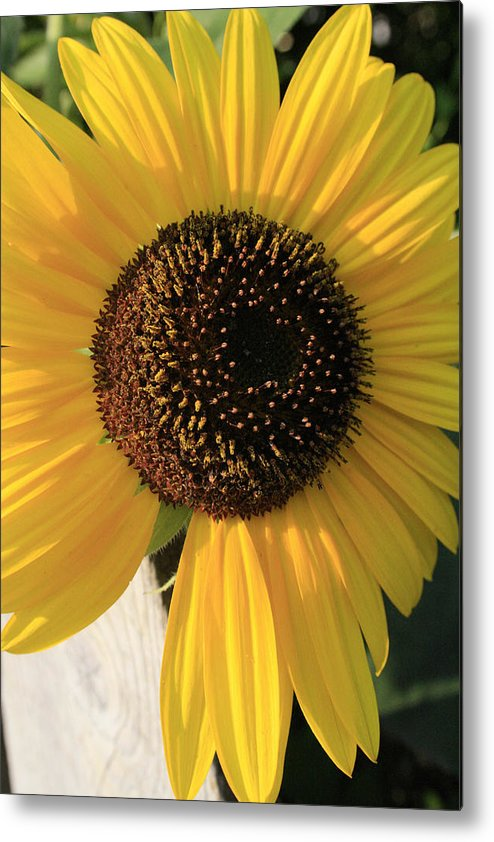 Flowers Metal Print featuring the photograph Son Of A Sun by Alan Rutherford