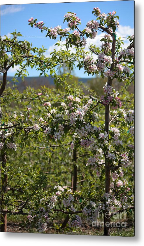 Blossoms Metal Print featuring the photograph Spring Blossoms Day by Carol Groenen