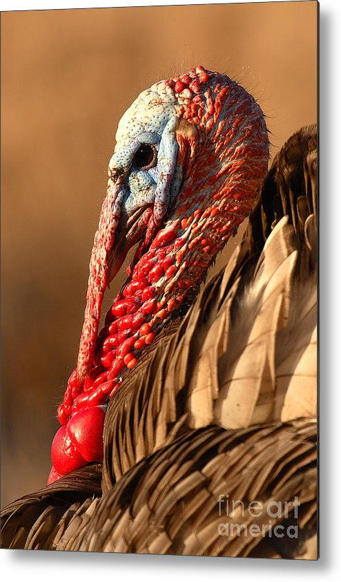 Turkey Metal Print featuring the photograph Spring Portrait Of Wild Turkey Tom by Max Allen