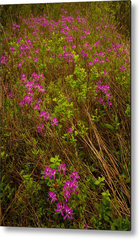 Wildflowers Metal Print featuring the photograph Spring Rhodora Blossoms by Irwin Barrett