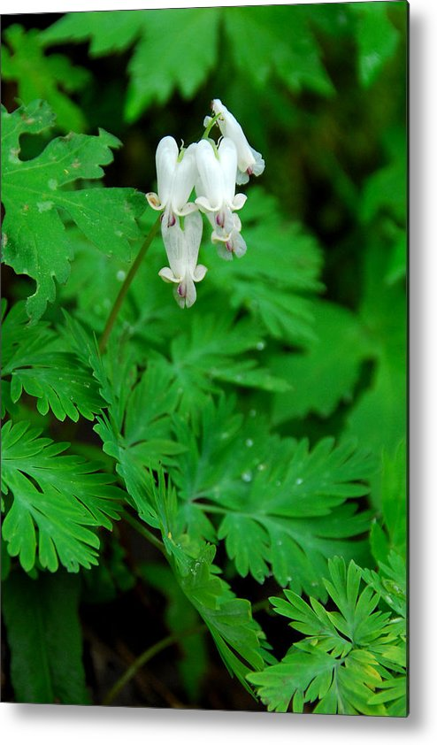 Wildflower Metal Print featuring the photograph Squirrel Corn by Alan Lenk