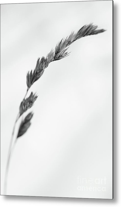 Dry Metal Print featuring the photograph Straw by Gabriela Insuratelu
