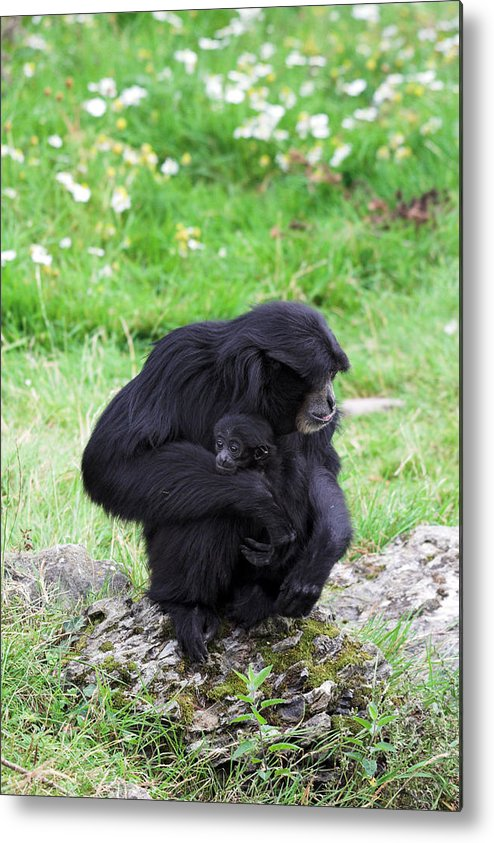 Baby Metal Print featuring the photograph Strong Bond Between Mother And Monkey by Pierre Leclerc Photography