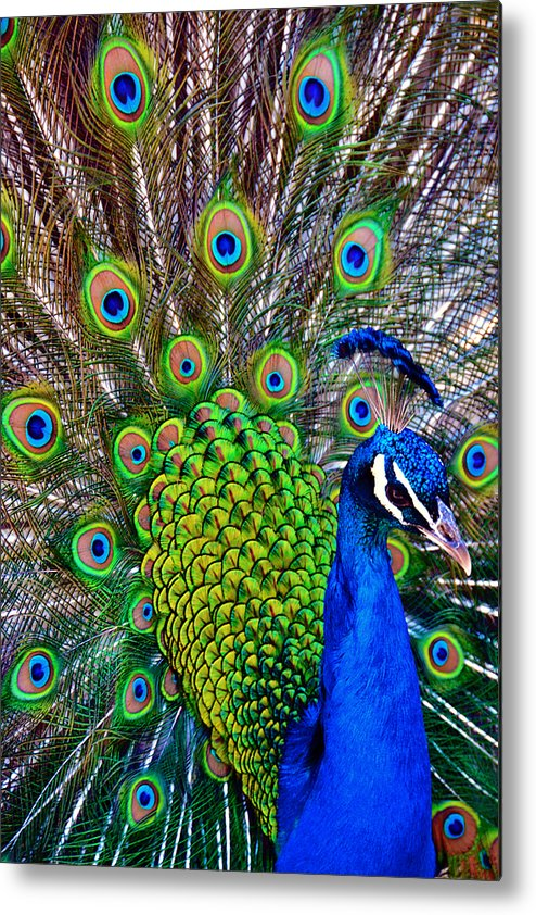 Zoo Metal Print featuring the photograph Strut by Angelina Vick