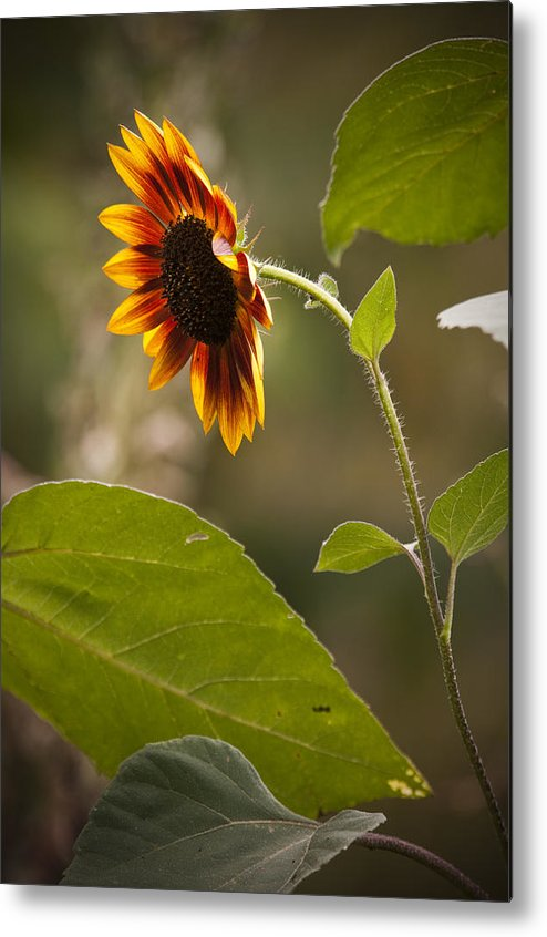 Flower Metal Print featuring the photograph Sun Flower by Chad Davis