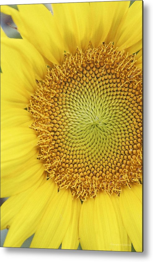 Sunflower Metal Print featuring the photograph Sunflower by Margie Wildblood
