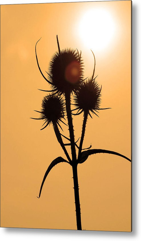Jez C Self Metal Print featuring the photograph Thistle Set by Jez C Self