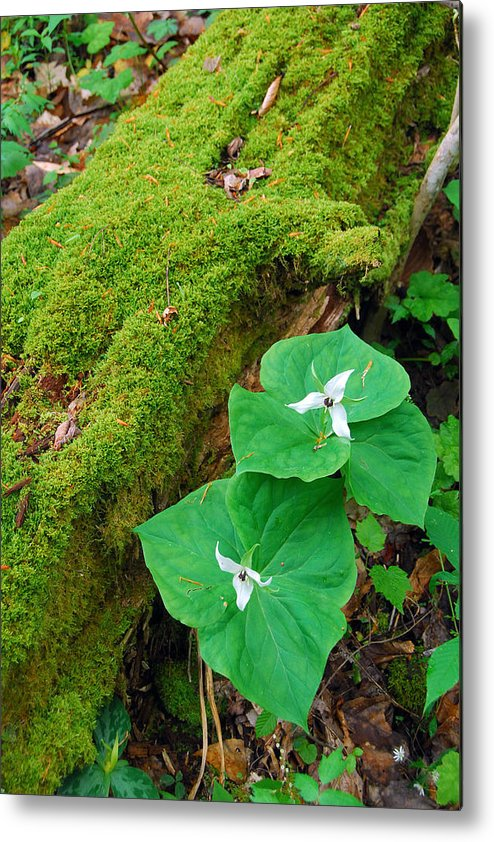 Trillium Metal Print featuring the photograph Trillium Pair By Mossy Log by Alan Lenk