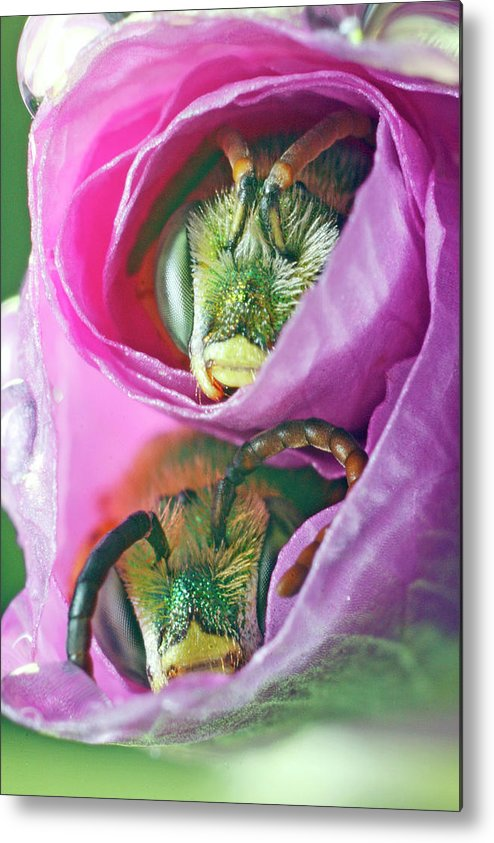 Bees Metal Print featuring the photograph Two Metallic Green Bees Rolled Up In A Pink Flowers Petals by Scott Leslie
