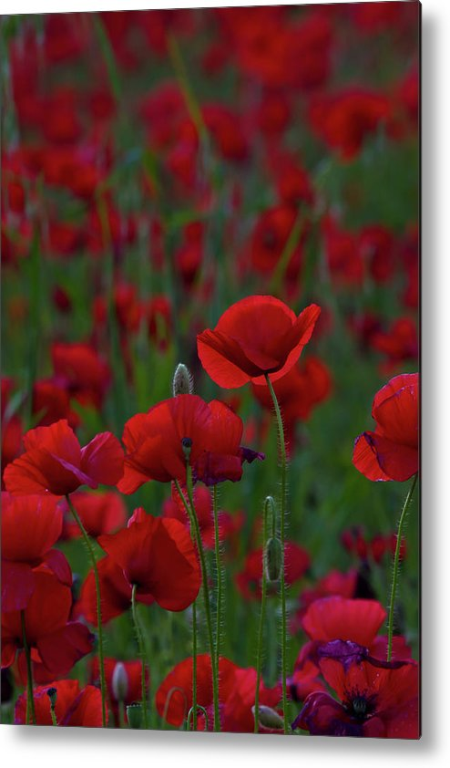 Umbria Metal Print featuring the photograph Umbria Poppies 2 by Roger Mullenhour