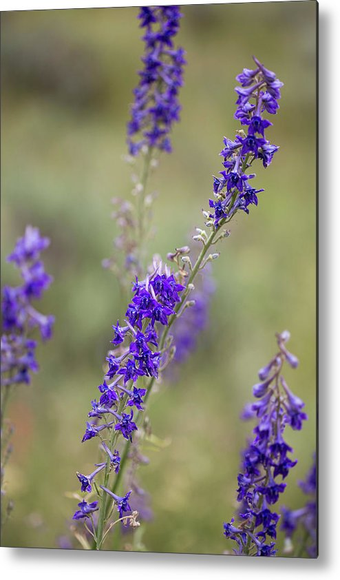 Crested Butte Metal Print featuring the photograph Whipple's Penstemon #2 by Meagan Watson
