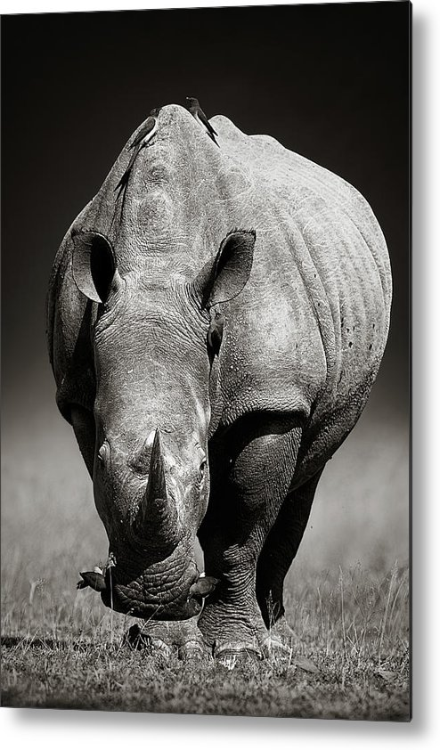 Rhinoceros Metal Print featuring the photograph White Rhinoceros In Due-tone by Johan Swanepoel