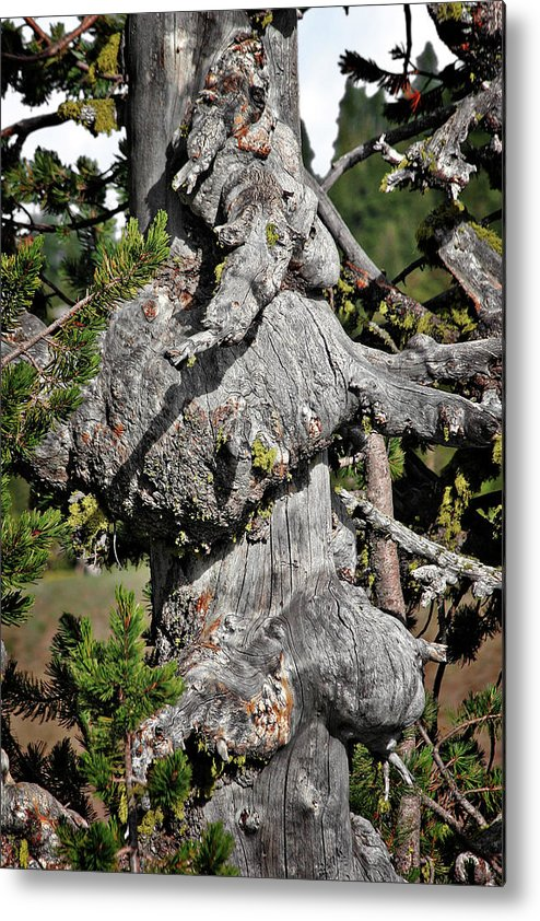 Pines Metal Print featuring the photograph Whitebark Pine Tree - Iconic Endangered Keystone Species by Christine Till