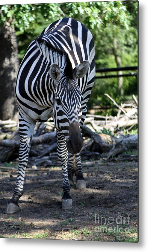Zebra Metal Print featuring the photograph Zebra by Brenda Thour