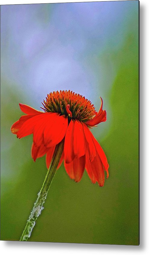 Lone Flower In Field Metal Print featuring the photograph Flower by Gillis Cone