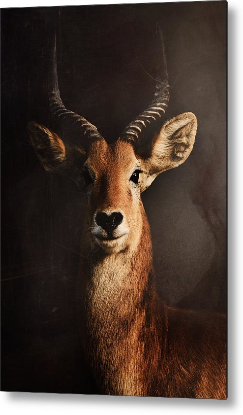 Antelope Metal Print featuring the photograph Untitled by Antonio Grambone