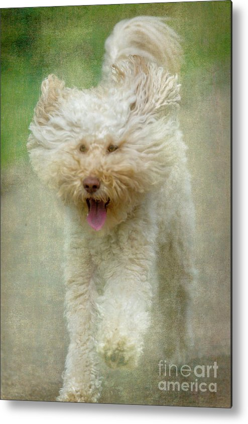 Australian Labradoodle Metal Print featuring the photograph Australien Labradoodle Dog by Heiko Koehrer-Wagner