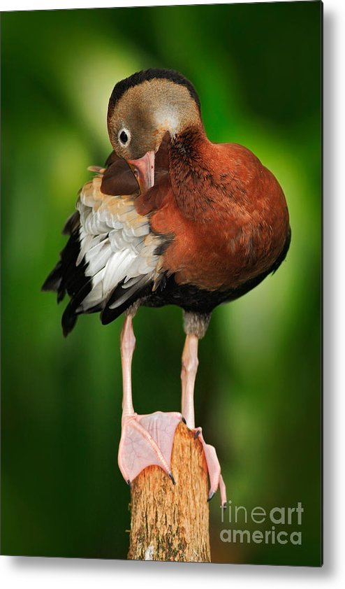 Beak Metal Print featuring the photograph Black-bellied Whistling-duck by Ondrej Prosicky