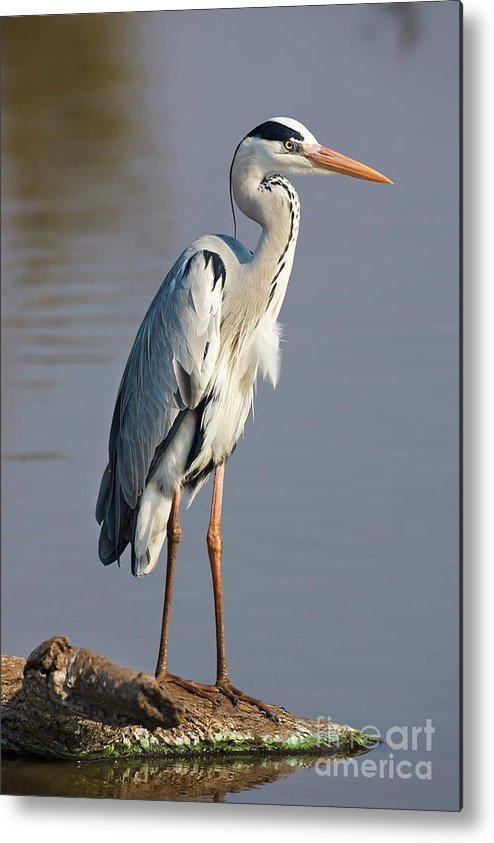 Beak Metal Print featuring the photograph Grey Heron Ardea Cinerea South Africa by Johan Swanepoel
