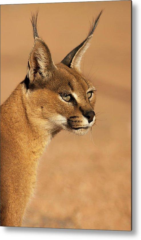 Portrait Of A Desert Lynx Metal Print By Bas Meelker Photography