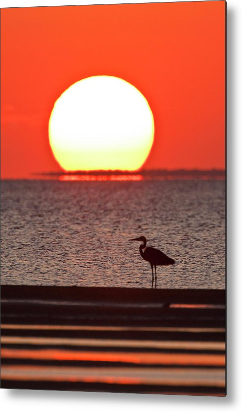 Orange Color Metal Print featuring the photograph Silhouette Of Great Blue Heron Ardea by Danita Delimont
