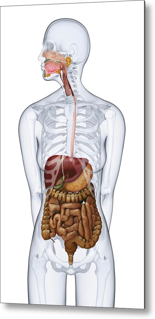 Anatomical Model Metal Print featuring the photograph Human Digestive Anatomy by Dorling Kindersley/uig
