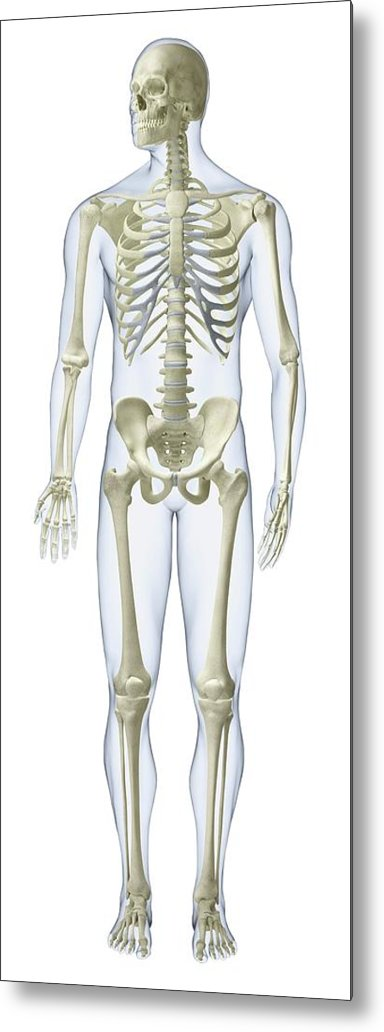 Anatomical Model Metal Print featuring the photograph Human Skeleton by Dorling Kindersley/uig