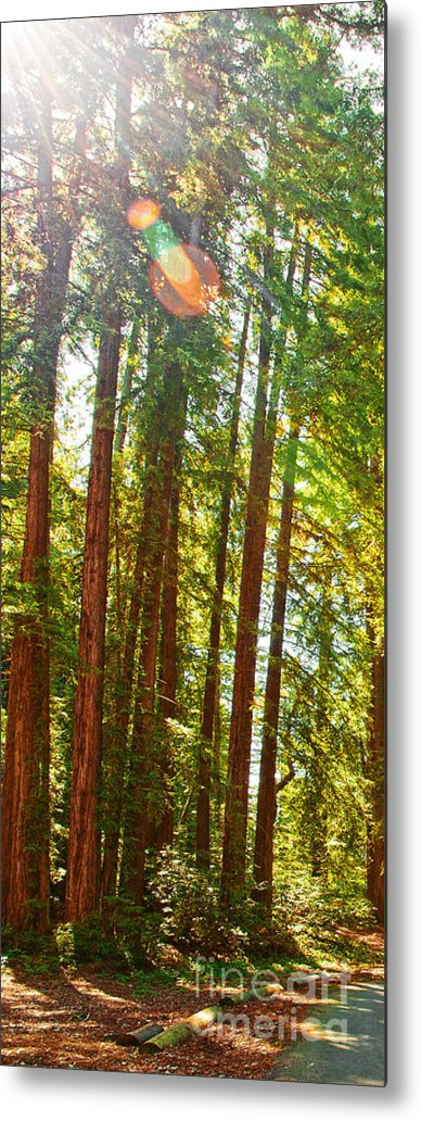 Redwoods Metal Print featuring the photograph Redwood Wall Mural Panel 1 by Artist and Photographer Laura Wrede