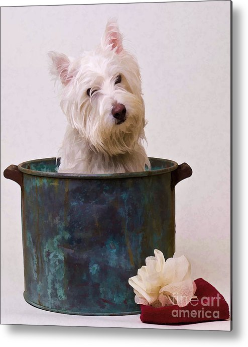 Dog Metal Print featuring the photograph Bath Time Westie by Edward Fielding