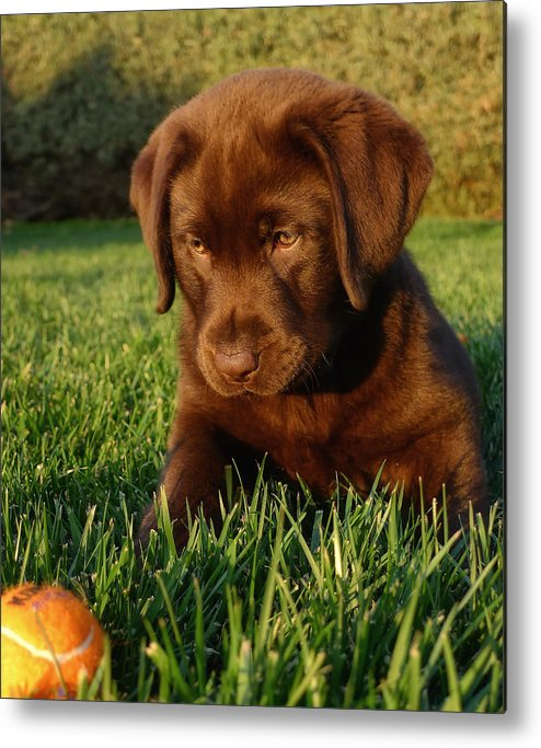 Dog Metal Print featuring the photograph Focus by Larry Marshall